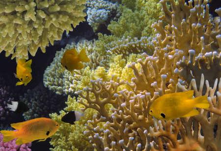 damselfish: Golden damselfish and fire coral