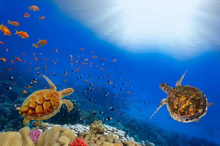 padi: Green turtles over the sun in sipadan water while scuba diving Stock Photo