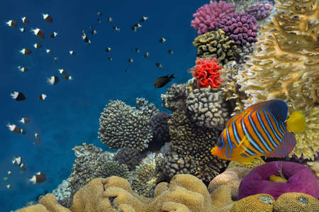 anthias: Coral reef with soft and hard corals with exotic fishes anthias