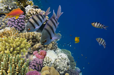 Tropical fish on the coral reef in Red Sea, Egypt photo