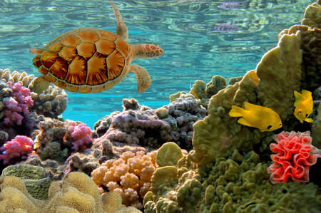 chelonia: Turtle   Green Sea Turtle - Chelonia mydas  Stock Photo