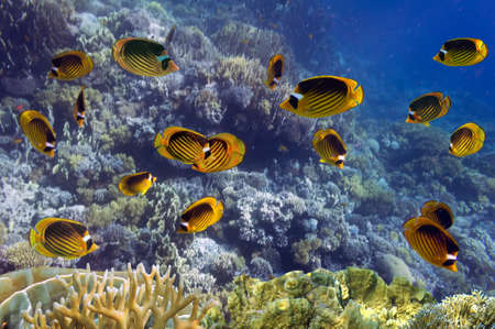 School of fish  Red Sea Raccoon Butterflyfish on coral reef  photo