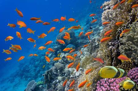 エジプト紅海でサンゴと熱帯魚 写真素材