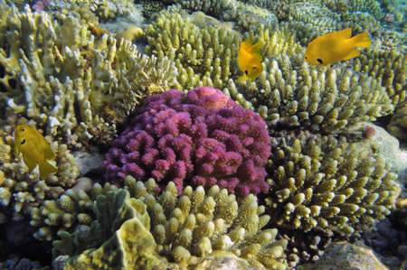 Hard coral and Sulfur damsel Stock Photo - 27565890