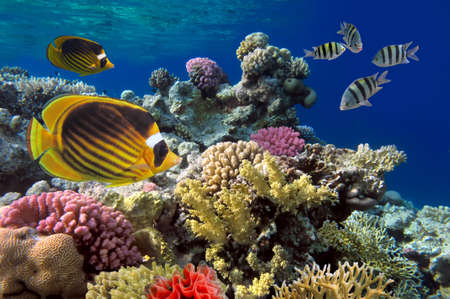 hard coral: Coral reef with soft and hard corals with giant jellyfish