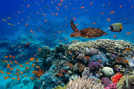 hard coral: Tropical fish and turtle in the Red Sea, Egypt