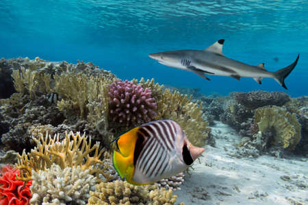 Colorful underwater coral reef with yellow stripped fish and big shark photo
