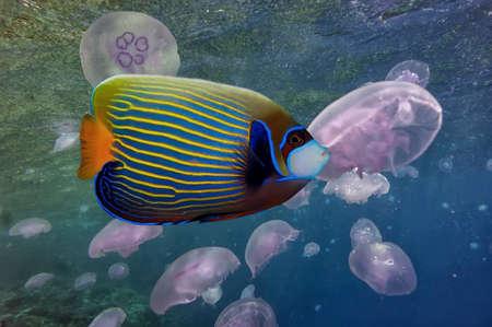 pomacanthus imperator: Pesci tropicali Pesci-angelo, nome orther pesce imperatore Archivio Fotografico