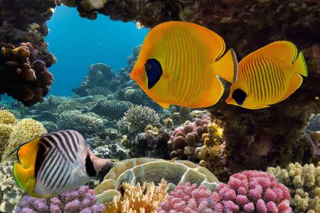 仮面の蝶の魚とサンゴ礁 写真素材