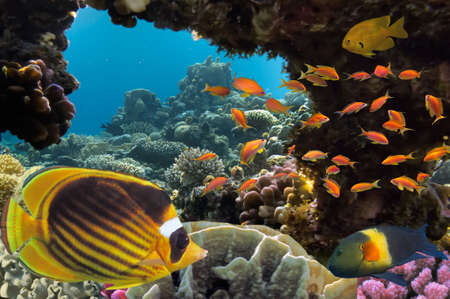anthias fish: Tropical fish and Hard corals in the Red Sea, Egypt Stock Photo