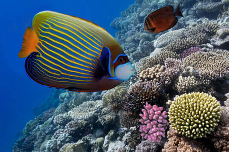 imperator: Emperor angelfish (Pomacanthus imperator) in the Red Sea, Egypt