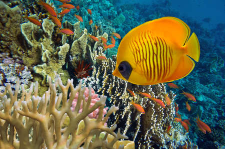 basslet: Tropical fish and Hard corals in the Red Sea, Egypt Stock Photo