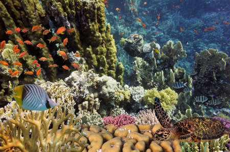 Turtle and tropical reef in the Red Sea photo