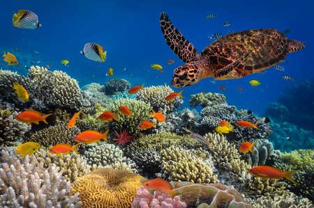 arrecife: Tortuga - Eretmochelys imbricata flota bajo el agua. Mar Rojo, Egipto Foto de archivo