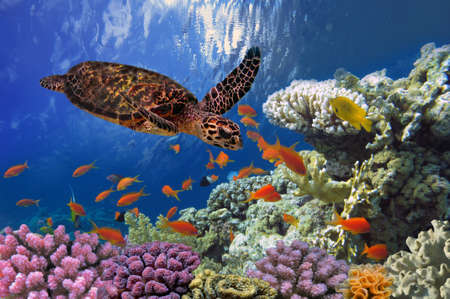 exoticism saltwater fish: Turtle - Eretmochelys imbricata floats under water. Red Sea, Egypt