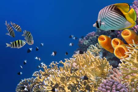 chaetodon: Threadfin butterflyfish (Chaetodon auriga) and Yellow Tube Sponges