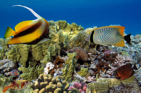 anthias: Coral reef with soft and hard corals with exotic fishes anthias on the bottom of tropical sea on blue water background