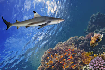 dangerous reef: Underwater image of coral reef with shark. Stock Photo