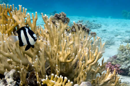 hardcoral: Tropical Fish and Coral Ree in the Red Sea. Egypt