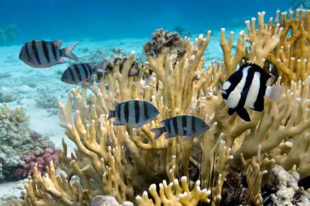 hardcoral: Tropical Fish and Coral Ree in the Red Sea, Egypt