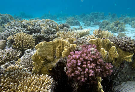 red coral colony: Photo of a coral colony in Red Sea, Egypt Stock Photo