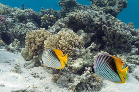 butterflyfish: Threadfin butterflyfish (Chaetodon auriga) and coral reef in Red Sea, Egypt