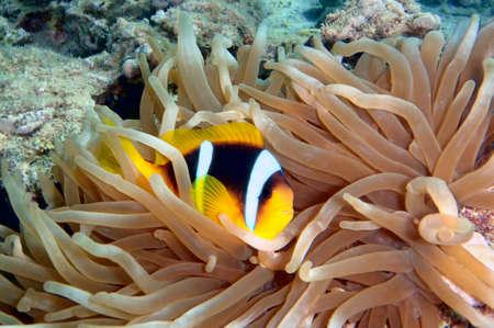 amphiprion bicinctus: Anemonefish (amphiprion bicinctus), Red Sea. Egypt Stock Photo