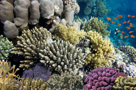 basslet: Hard corals and Tropical fish in the Red Sea, Egypt