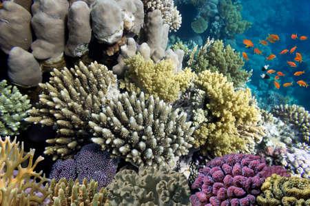 basslet: Los corales duros y peces tropicales en el Mar Rojo, Egipto