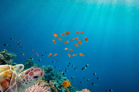 chelonia: Sea turtle swimming over coral reef.