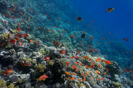 Tropical fish and Hard corals in the Red Sea, Egypt Stock fotó