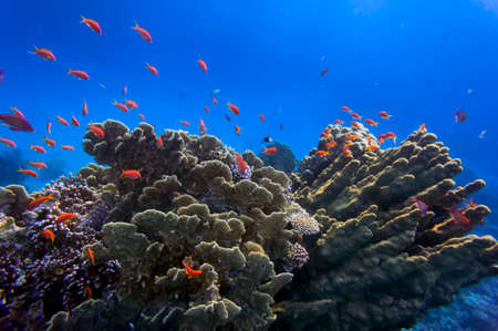 soft coral: Tropical fish on the coral reef in Red Sea, Egypt
