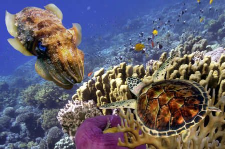 fish water: Underwater Common Cuttlefish and turtle, Red Sea, Egypt Editorial