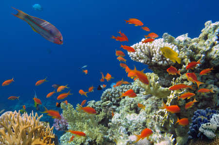 great barrier reef marine park: Colorful reef underwater landscape with fishes and corals. Red Sea.