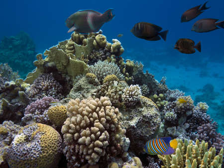Coral colony and coral fish, Red Sea