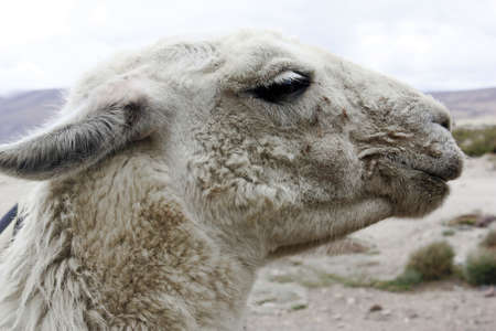 chilean lama Stock Photo