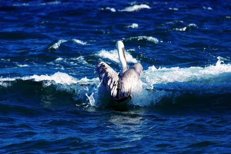 A pelican foalding its wings in a shape of heart