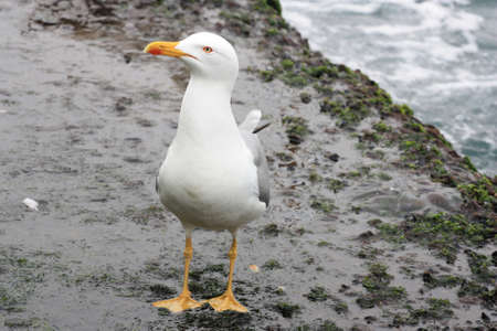 A yellow-beaked seafull peacefully walking on the pier