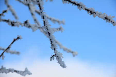 Branches in snow against the blue sky