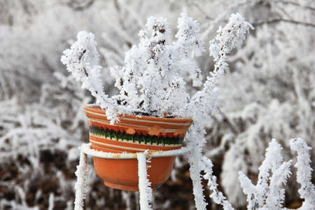 Forgotten Flower in a pot covered with snow