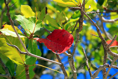 One single red leaf of a tree with green leaves Stock Photo
