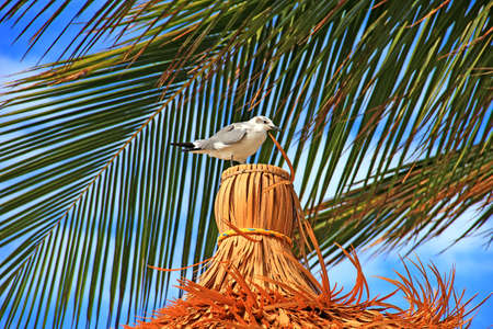 Seagull on a straw roof of a hut against the blue sky and a green palm in Bahamas Stock Photo