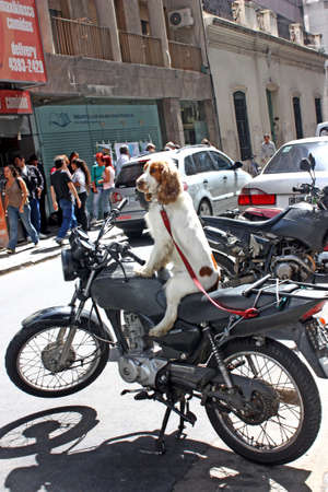 April 2010, Buenos Aires, Argentina: a dog waiting for its owner sitting with its legs spread out on a bike in the middle of a crowded street
