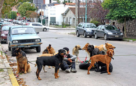 April 2010, Mar del Plata, Argentina; a boy with lots of dogs waiting for another one to walk them together