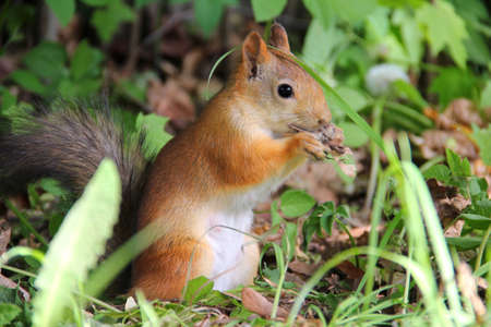 Small furry red squirrel eating in a park in Moscow, Russia Stock Photo