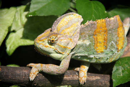 Colorful iguana walking peacefully on a branch