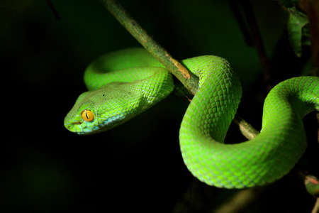 snake bite: Green Snake at the forest in Thailand.