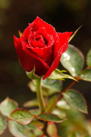 Red Rose in garden at Chiangmai, Thailand.