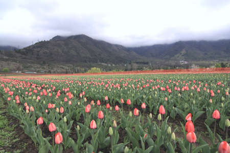 Colorful tulips garden in Srinagar, Kashmir, India. Stock Photo