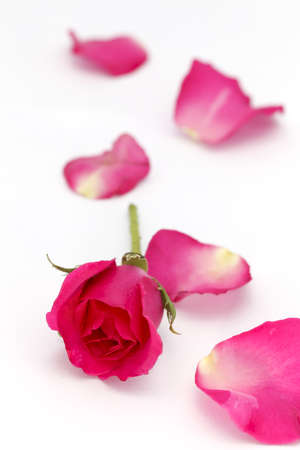 Red rose and petals Stock Photo - 12065033